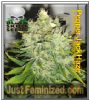 Black Skull Pepper Jack Haze Female 5 Ganja Seeds